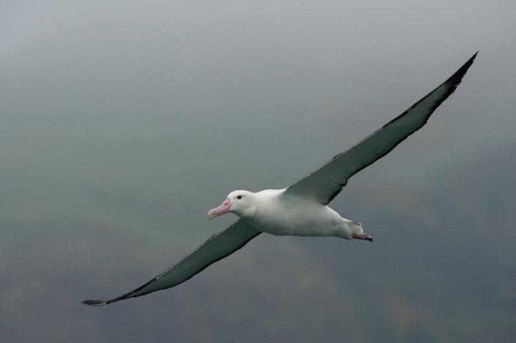 The majestic Royal Albatross.