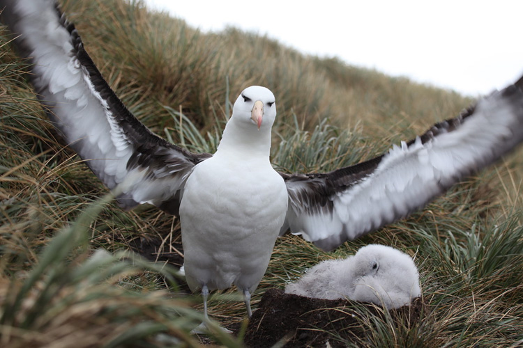 This a Black Browed Albatross with it's chick.