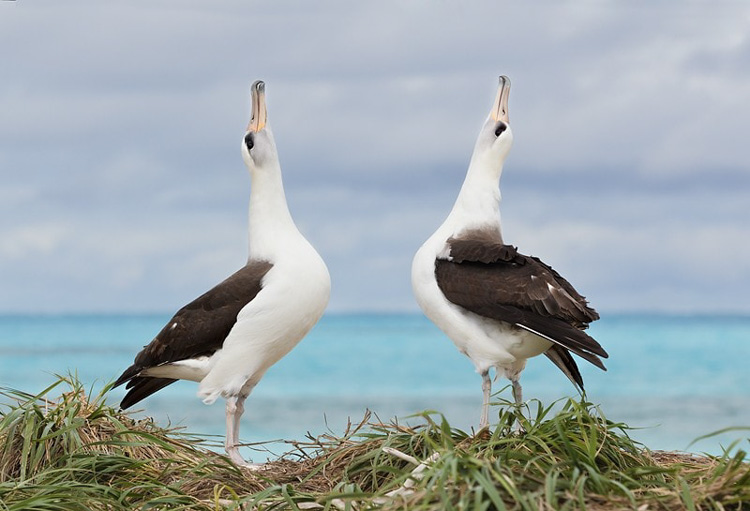 This Laysan Albatrosses performing their courtship dance.